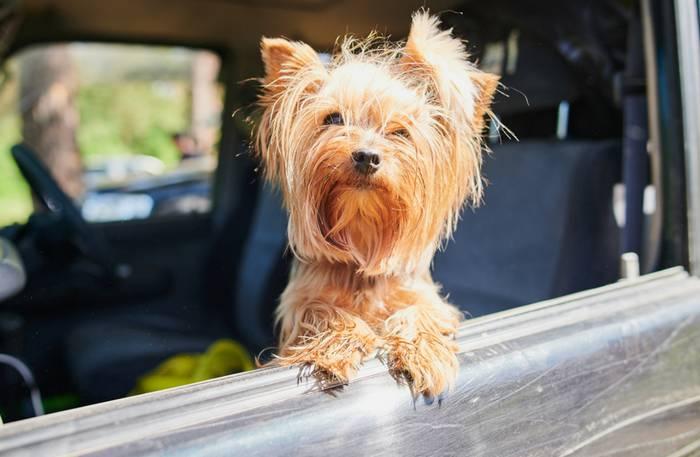 Im Auto zu verreisen ist für die Fellnase die angenehmste Art zu Reisen. (Foto: shutterstock - Vershinin89)